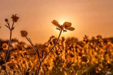 DaffodilsMac