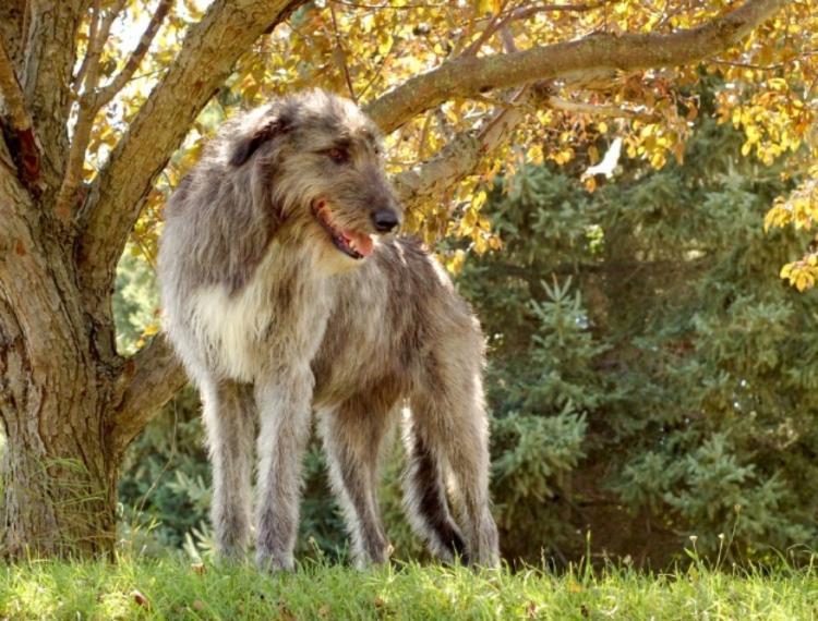 irish-wolfhound-by-tree