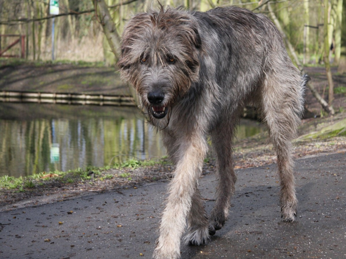 Big Scruffy Dog For Adoption