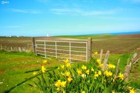 daffodilfieldsireland